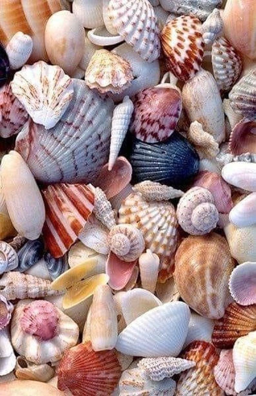 Beach Shells, Beach Seashells, Beach Shell Decor, Craft Shells, Craft Seashells, Seashells For Crafting, Shells For Wedding, Shells For Art