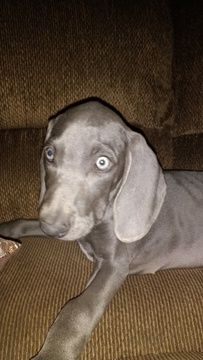 Litter of 8 Weimaraner puppies for sale in LOUISVILLE, KY  ADN-40579