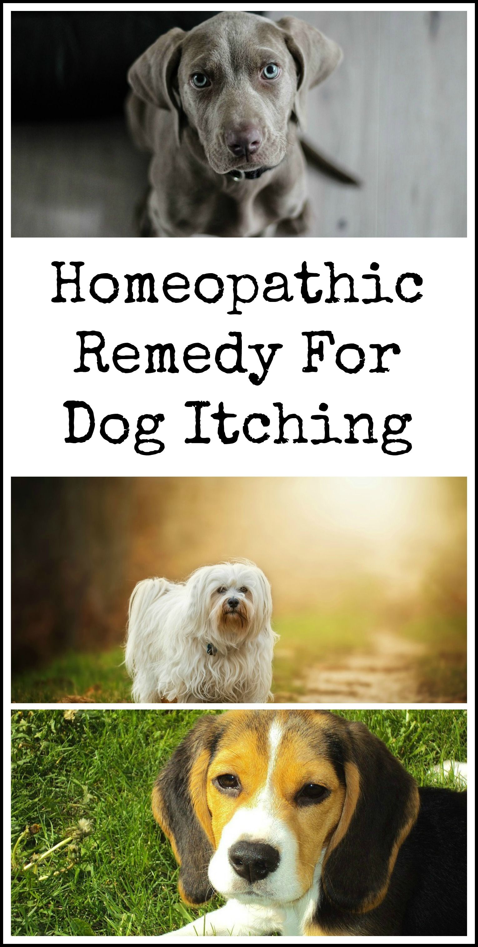 Homeopathic Remedy For Dog Itching Dog Itching Dog Clinic Dogs