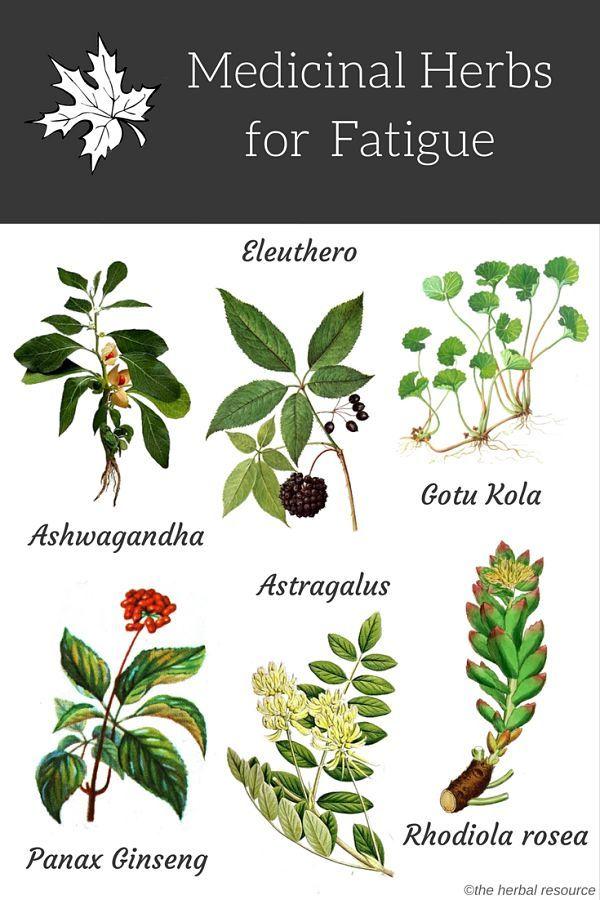 Medicinal Herbs for Fatigue   Herbalism, Herbs, Medicinal herbs