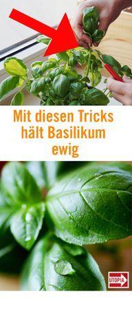 Mit diesen Tricks bleibt Basilikum ewig frisch #kräutergartenbalkon