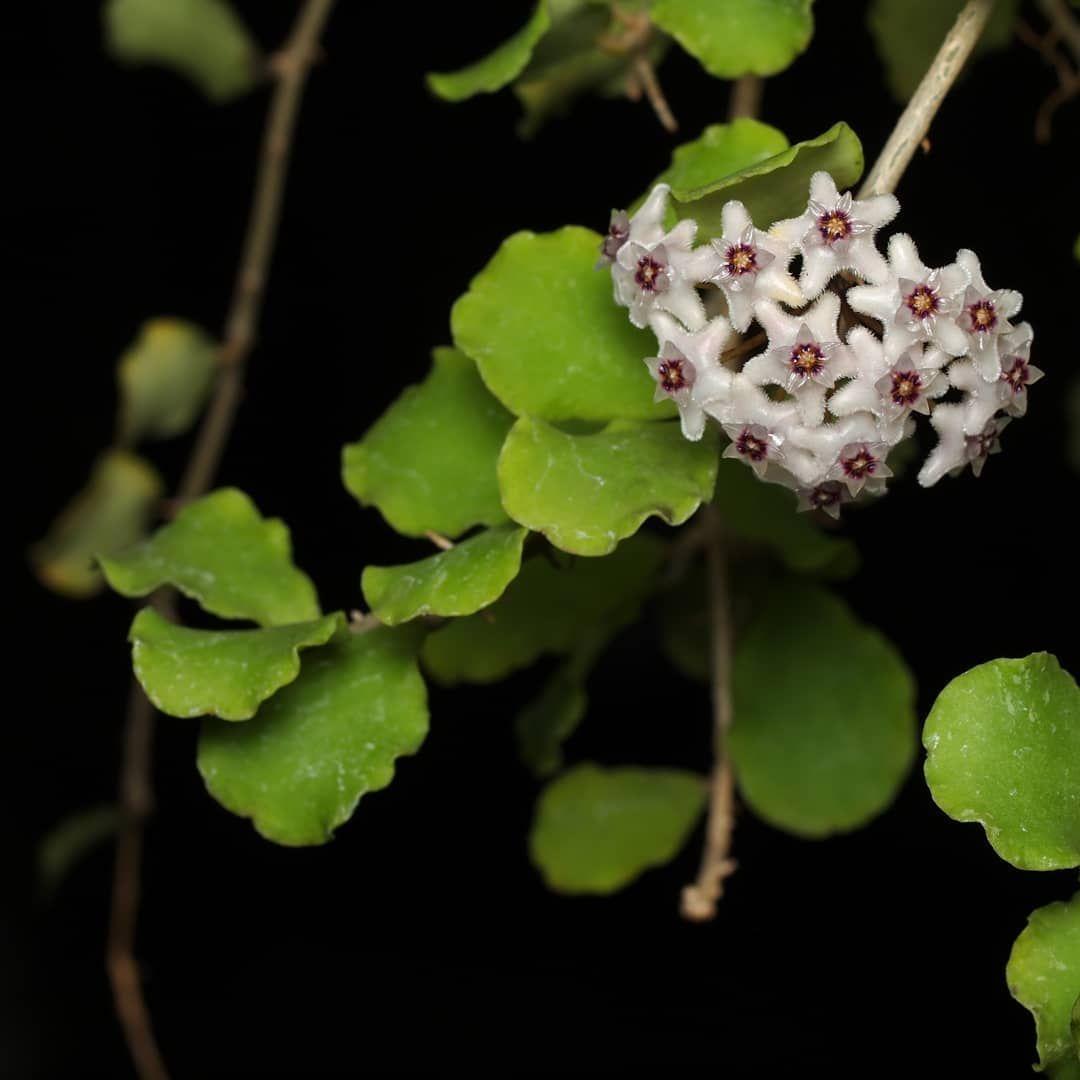 Hoya kanyakumariana This hoya is one of my favorites. Habitat:Indhia  #hoyakanyakumariana #asclepiadaceae #apocynaceae #waxflowe… | Hoya plants,  Plants, House plants