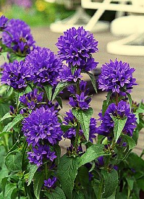 Campanula Glomerata Superba Plant Finder Flower Landscape Flowers Perennials Beautiful Flowers