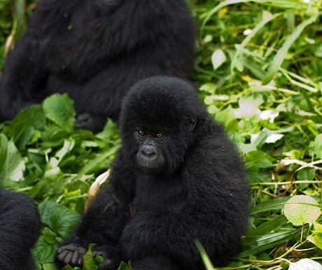 Bucket List: Trek Gorillas (only 700 left in the world so you better hurry!)