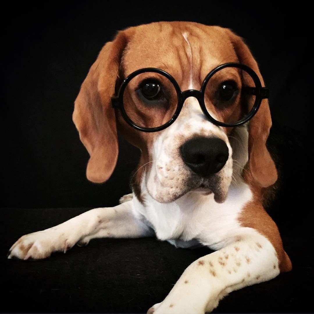 Super Cute Beagle Beagle Mix Puppies