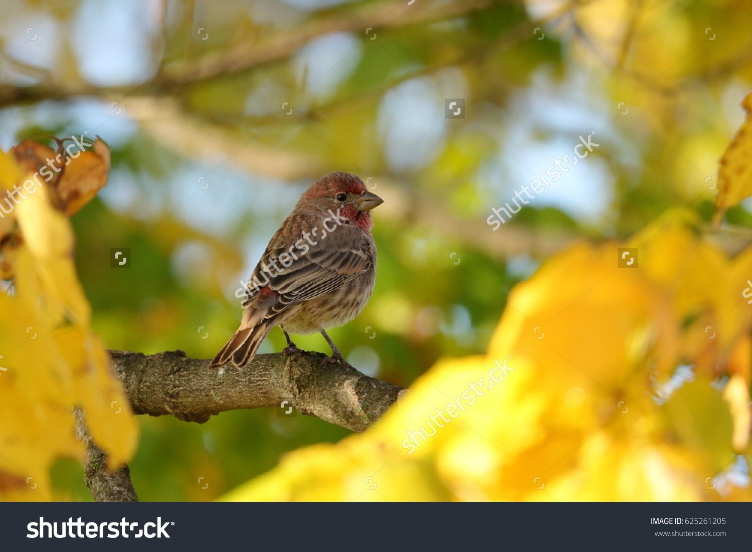 Male House Finch in Maple Tree with yellow autumn leaves.