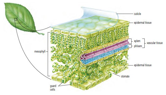 Cross Section Of Is A Cross Section Of A Leaf Showing Its Tissues Biology Plants Plant Science Biology