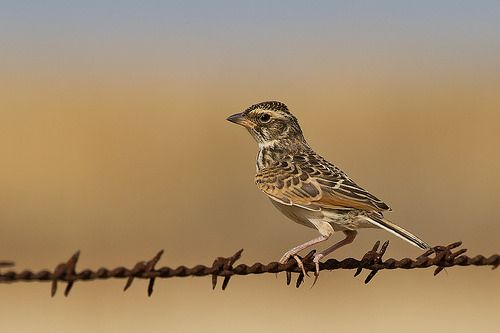 Horsfield's Bush Lark or Australasian Bushlark - grassland throughout most of Australia and much of S.E. Asia