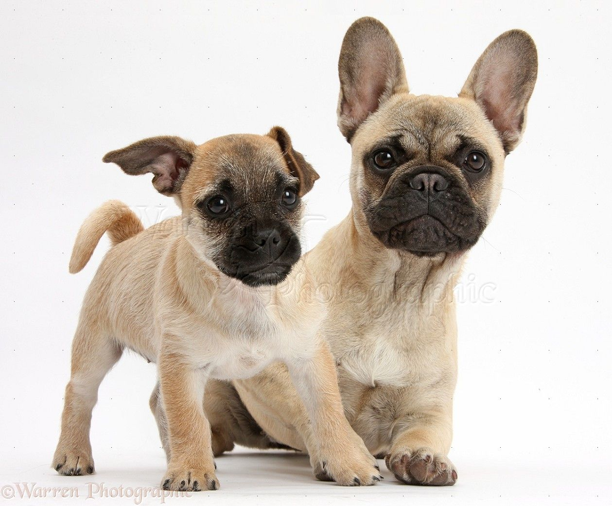 Cute Jug Puppy Puppies Doggy Dogs