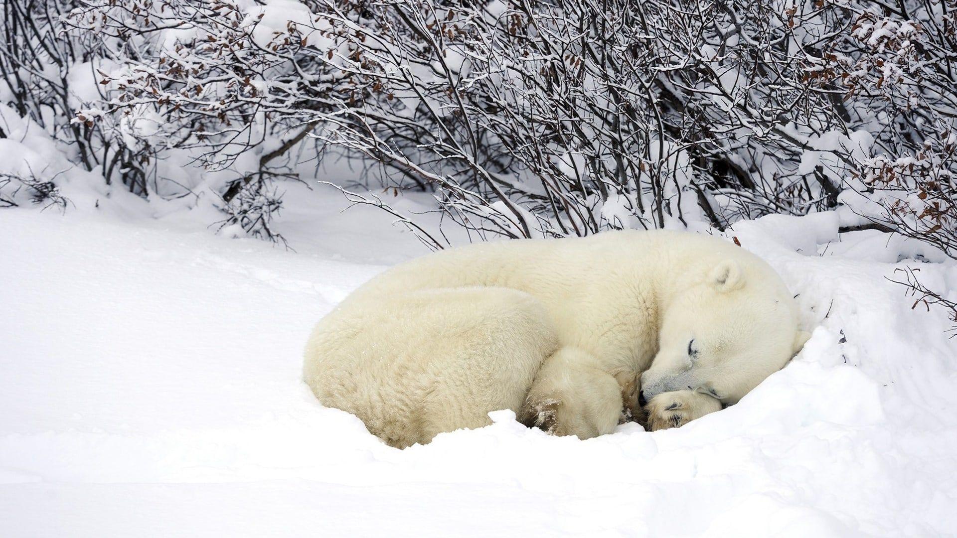 Ours Polaires Polar Bears Voyage Onirique En 2020 Ours Polaire Bebe Ours Polaires Fond D Ecran Ours