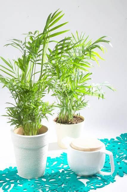 Palma Koralowa Chamaedorea W Domu Osiaga Najwyzej 1 1 2 M Lubi Polcieniste Miejsca Latem Dobrze Jej W Temperaturze 18 20 C Zi Plants Planters Planter Pots