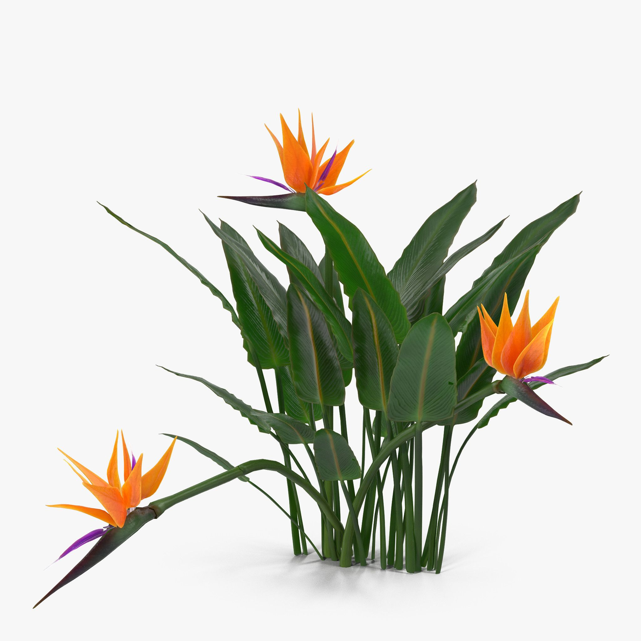 Bird Of Paradise 3d Models And Textures Turbosquid Com Paradise Plant Birds Of Paradise Plant Birds Of Paradise