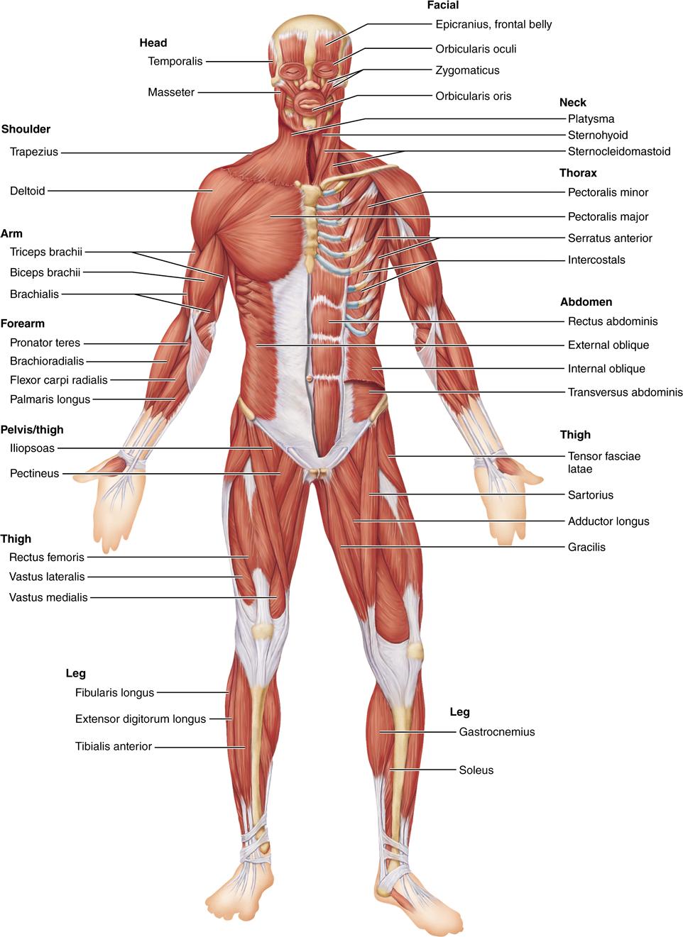 identification of human muscles | anatomy ref | pinterest | anatomy