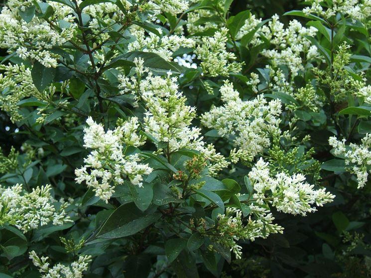 Arbusto Con Fiori Bianchi.Ligustro Sempreverde Arbusti