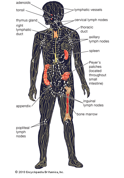 How Your Lymphatic System Takes out the Trash | Natural Health ...