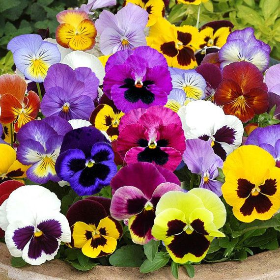 Pansy Mix Swiss Giants 100 Thru 1 Oz Seeds Colorful Herpetology 247 Pansies Flowers Flower Seeds Pansies