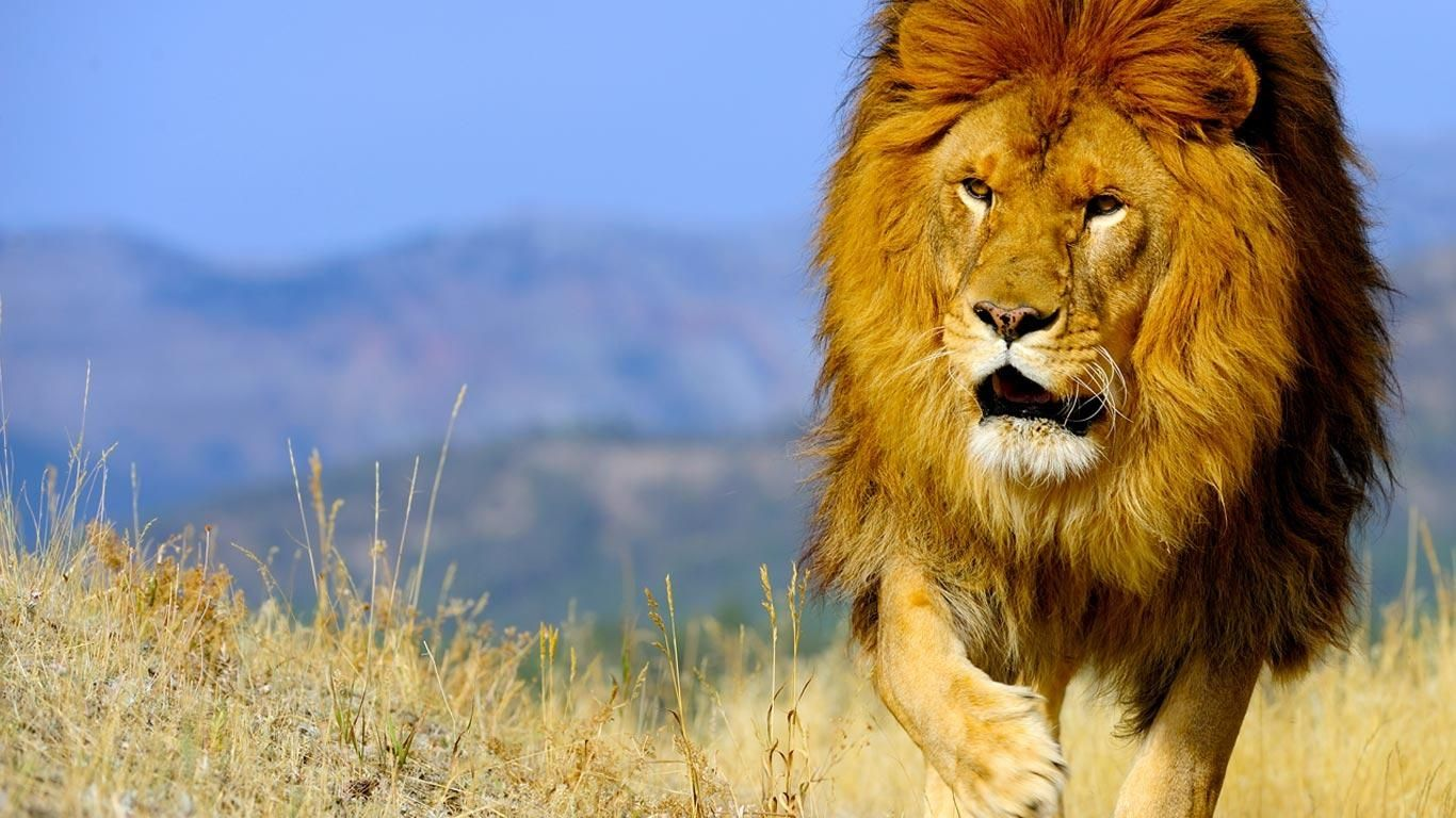 Today S Bing Image Download Updated Daily Get Your Free Wallpapers Download Here Today Lion Pictures British Lions National Geographic Wallpaper