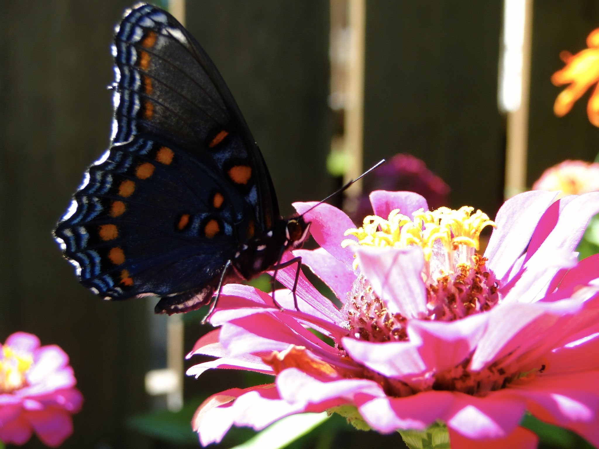 Red Spotted Purple Butterfly On Zinnia. Purple ButterflyZinniasOhio