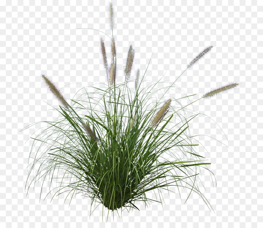 Others Png Download 768 764 Free Transparent Pennisetum Alopecuroides Png Download Grass Photoshop Trees To Plant Forest Background