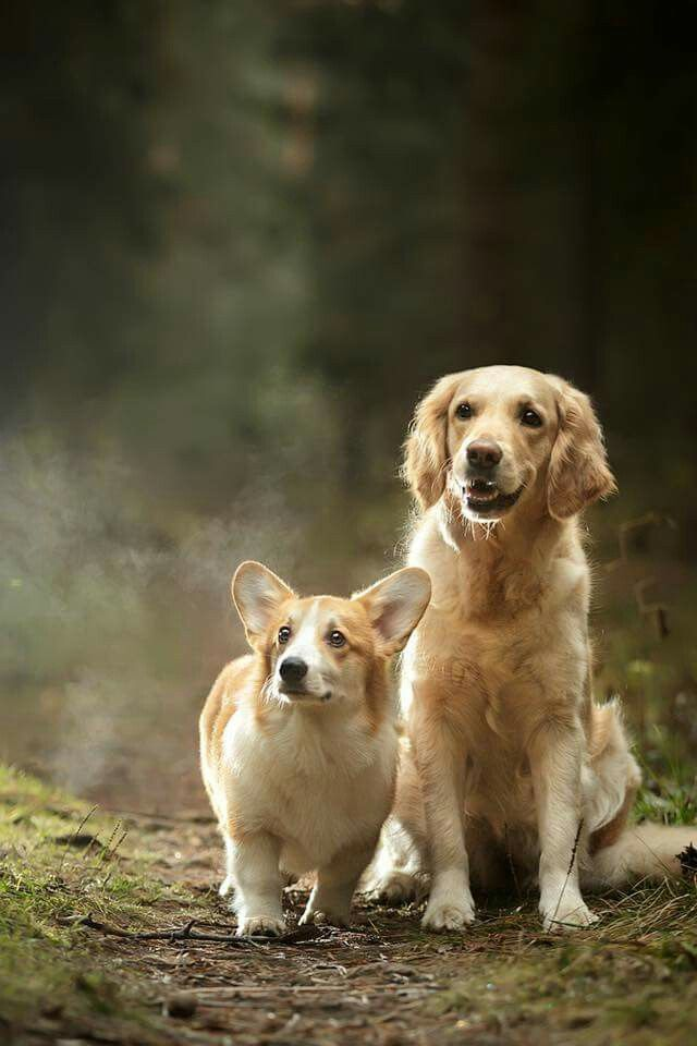 I Want To Have A Golden Retriever And A Corgi Very Very Badly