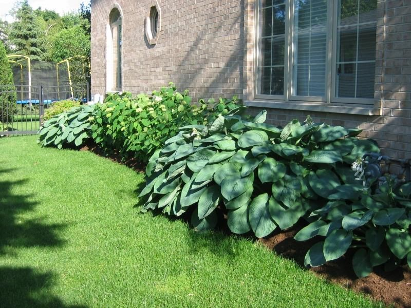Hosta Empress Wu Giant
