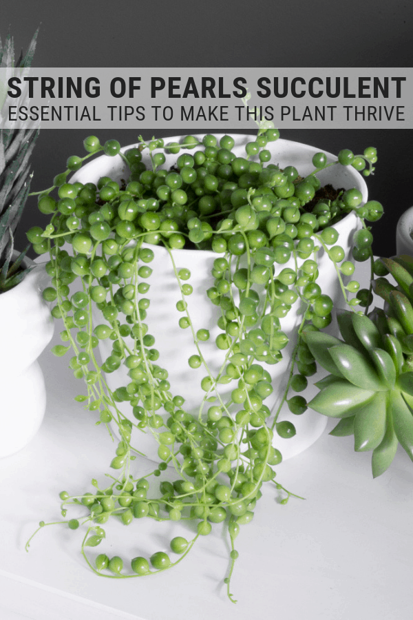 How to Care for String of Pearls: Tips for Caring for String of Pearls