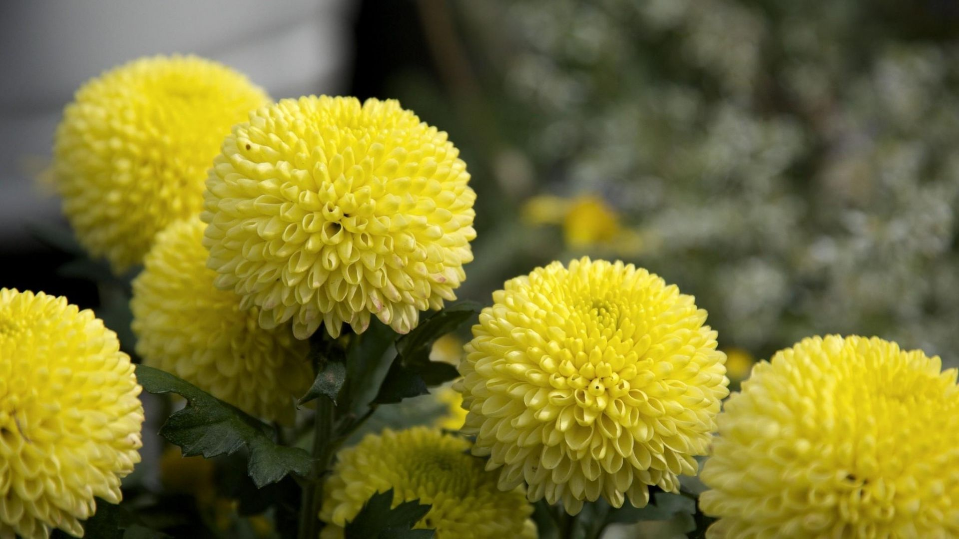 Stunning Dahlias Flowers Yellow Close Up Hd Images Pin Hd Wallpapers Dahlia Flower Flowers Beautiful Flowers