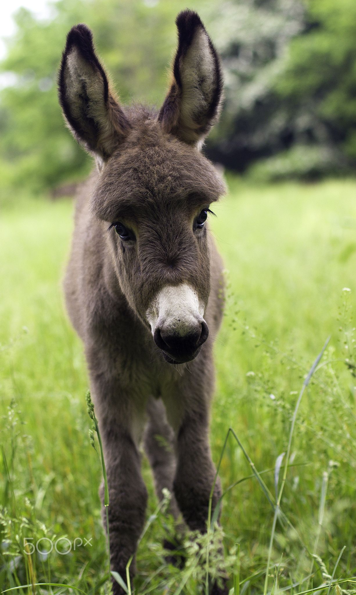Beautiful baby donkey in Italy. title Long ears and