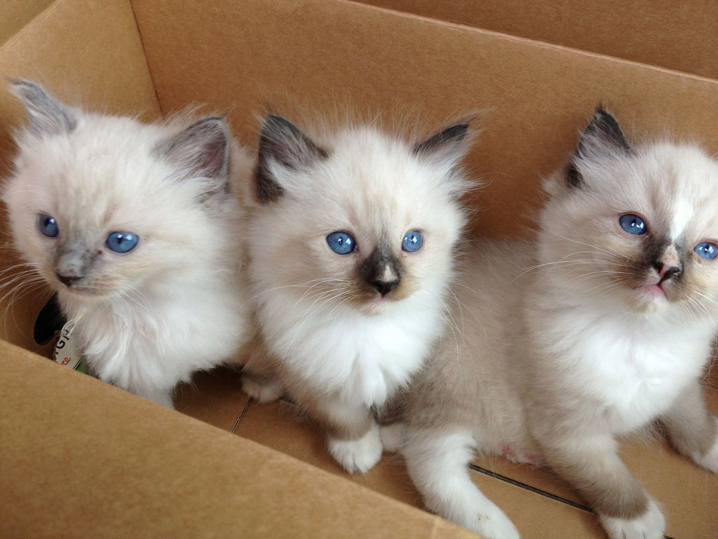 Ragdoll Cats and Kittens Ragdoll Cats and Kittens