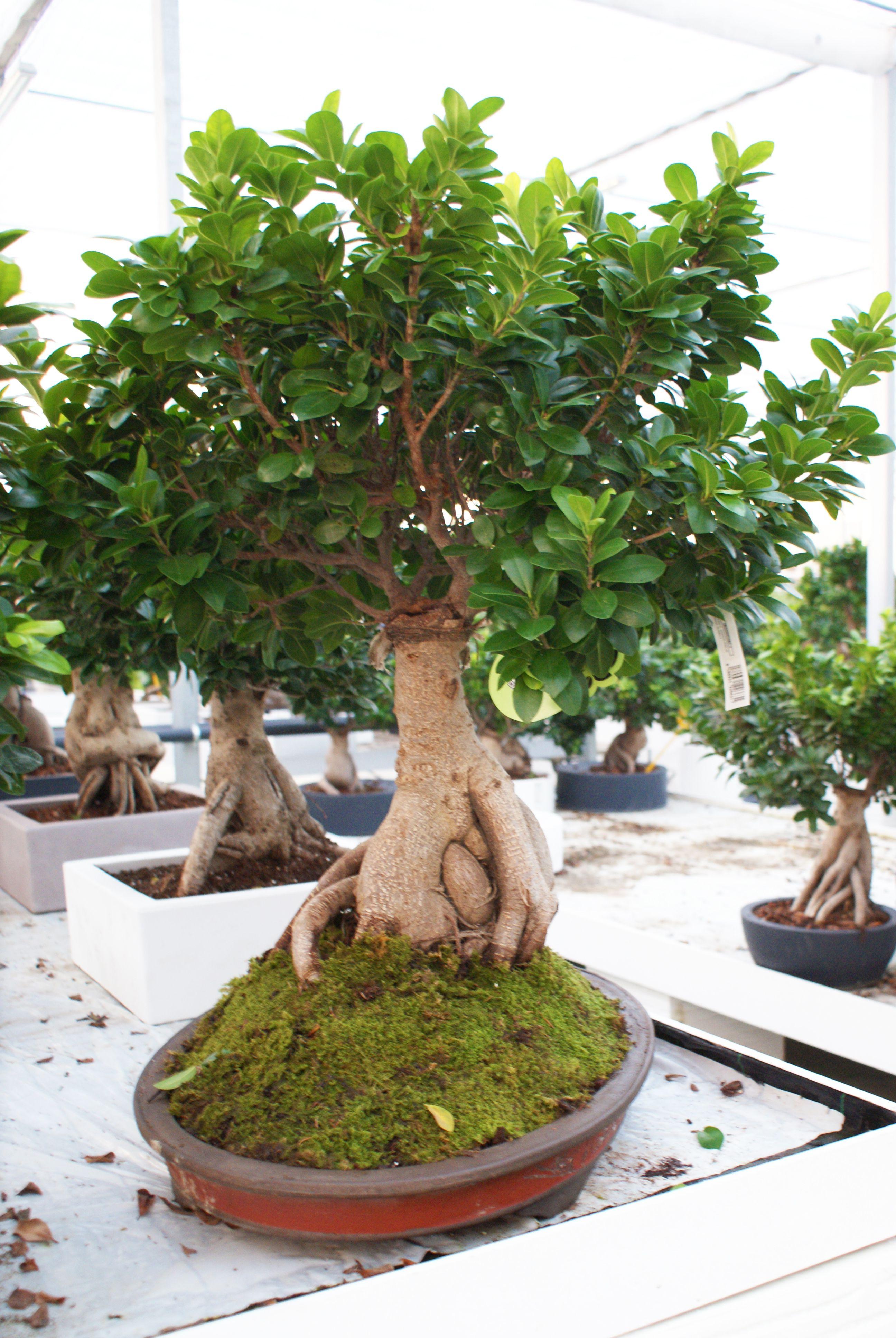 In Diretta Dallo Showroom Bonsai Ficus Ginseng 5000 Gr In Vaso