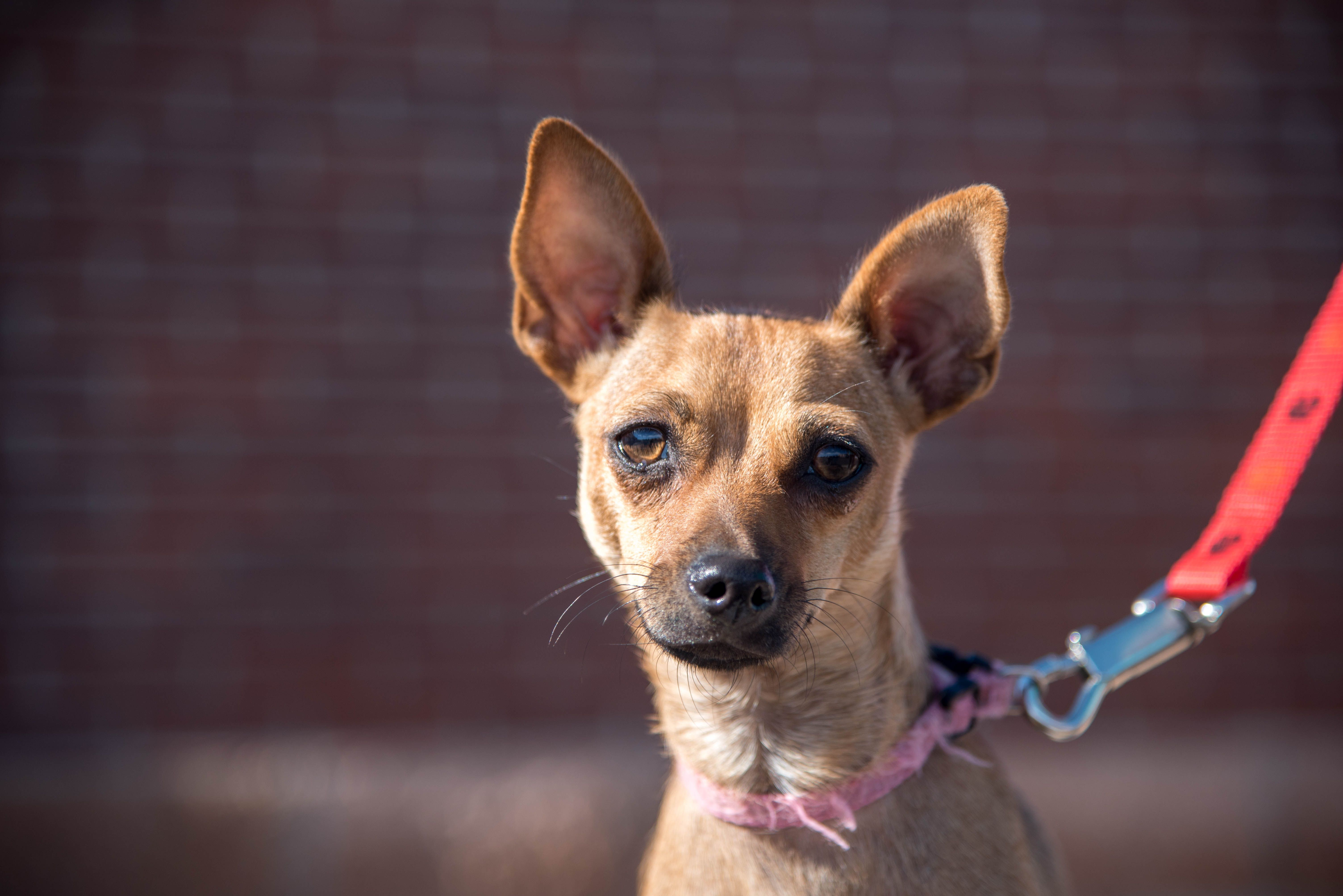 Chiweenie Dog For Adoption In Colorado Springs Co Adn 521698 On Puppyfinder Com Gender Male Age Young Chiweenie Dogs Dog Adoption Chiweenie