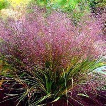 Love Grass Seeds Eragrostis Spectabilis Ornamental Grass Seed Ornamental Grasses Grass Flower Grasses Garden