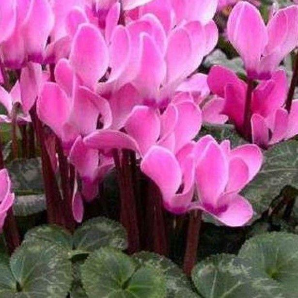 Cyclamen de perse fleurit en automne et en hiver ses fleurs sont de couleur