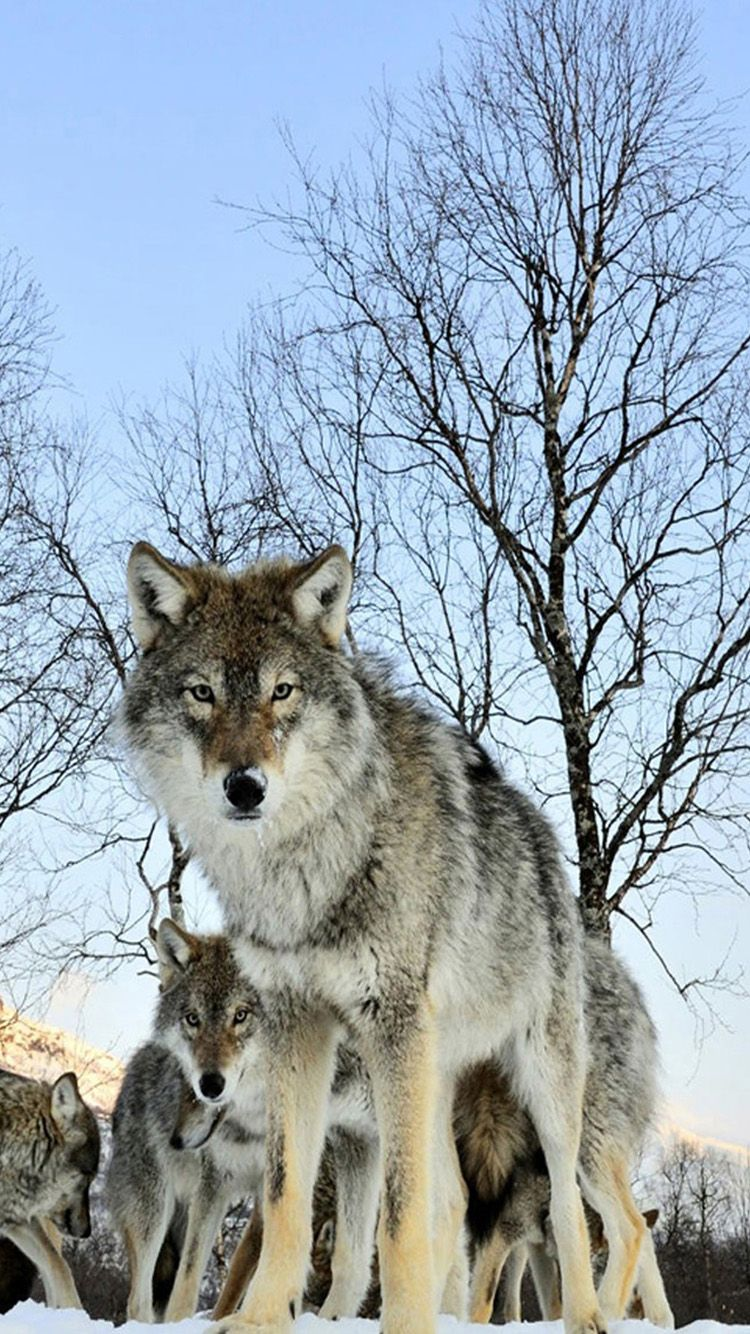 TAP AND GET THE FREE APP! Animals Nature Wolves Wolf