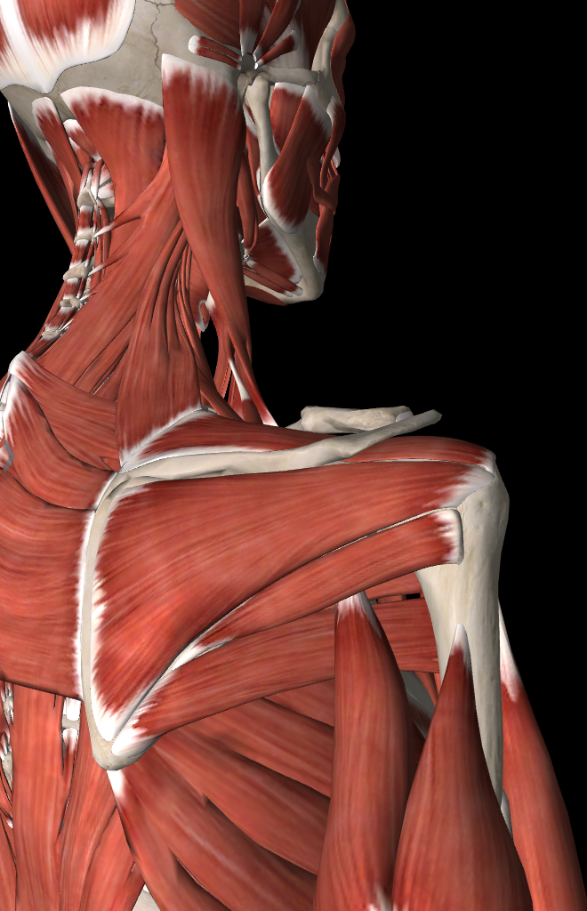Rotator cuff training | Backs & Anatomy | Pinterest | Anatomía ...
