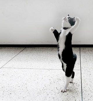 バレエダンサーっぽい猫 ひとくちフォト 動物写真とアイデア写真とネタ画像と気になる動画 dancing cat cats dancing animals