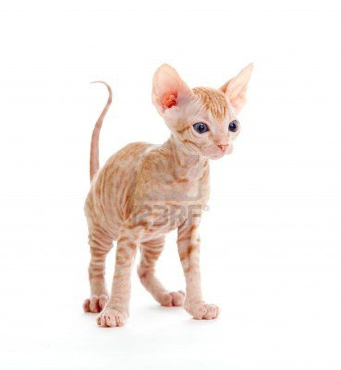 Funny Hairless Sphynx Tabby Kitten Isolated Tabby Kitten Tabby Kitten