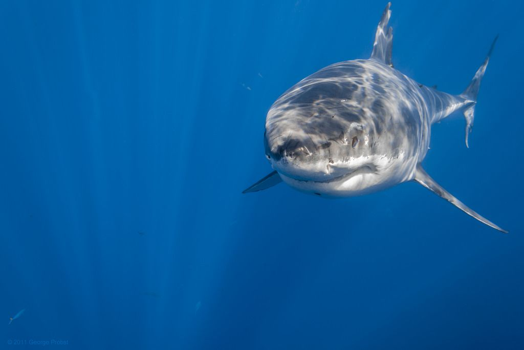 Great White Shark Straight Ahead Eye Structure Shark And Animal
