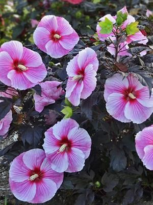Hibiscus Starry Starry Night Rose Mallow New Plants For 2016