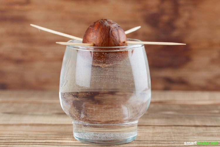Avocado Züchten Aus Kern