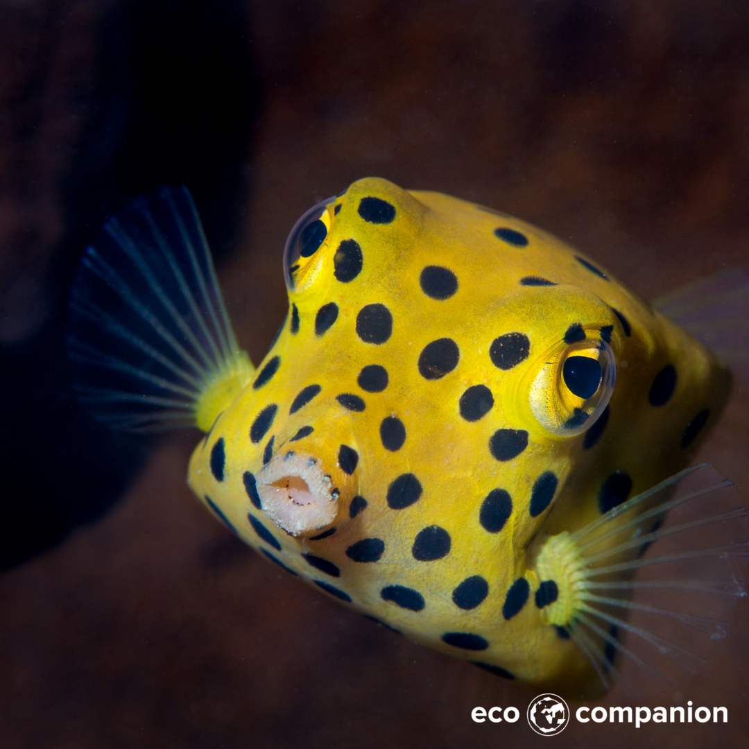 A Yellow Boxfish Yep Box Fish These Curious Creatures Box Shapes Are Constructed With An Exoskeleton I Deep Sea Creatures Ocean Animals Ocean Creatures