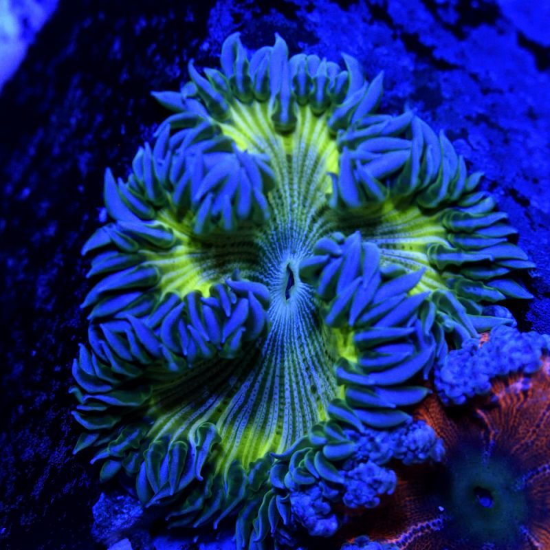 Ray Of Sunshine Rock Flower Anemone Marine Aquarium Fish Tank Under The Sea