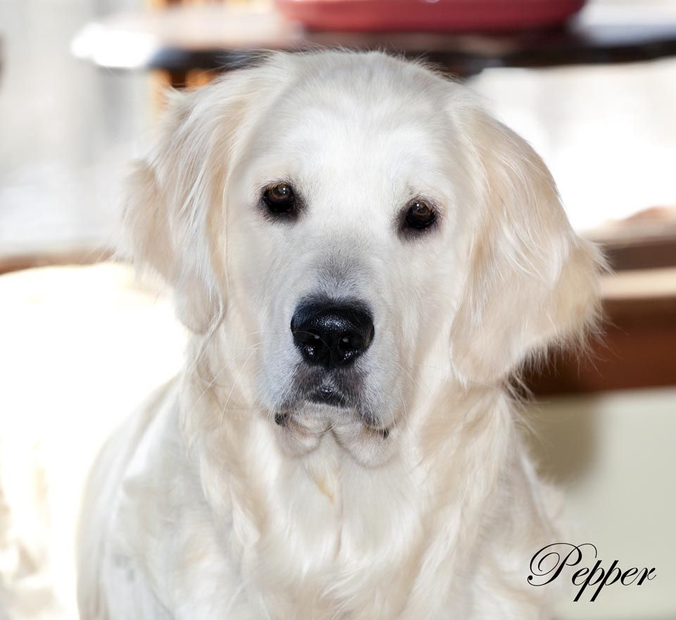Golden Retriever Puppies White Cream Akc Certified Nj Breeders Md Ct Ma De Ri Ny Pa Va Oh Golden Retriever White Golden Retriever White Golden Retriever Puppy
