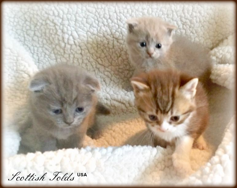 Trio Litter Scottish Fold Kittens 4 Weeks Old Blue Lilac And Chocolate Tabby Scottish Fold Kittens Cat Scottish Fold Scottish Fold