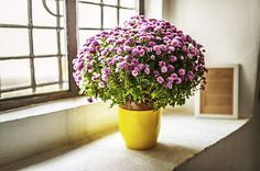 Florist S Chrysanthemum Plants Cool Plants House Plants Indoor