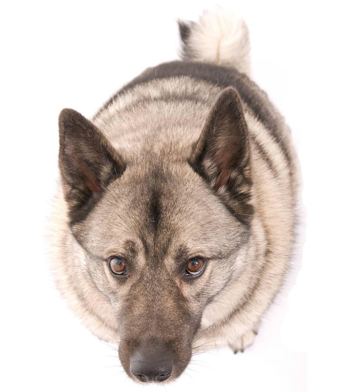 Norwegian Elkhound Norwegian elkhound, Dog breeds