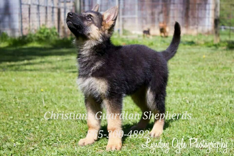 German Shepherds For Sale .. Knoxville, Tennessee www