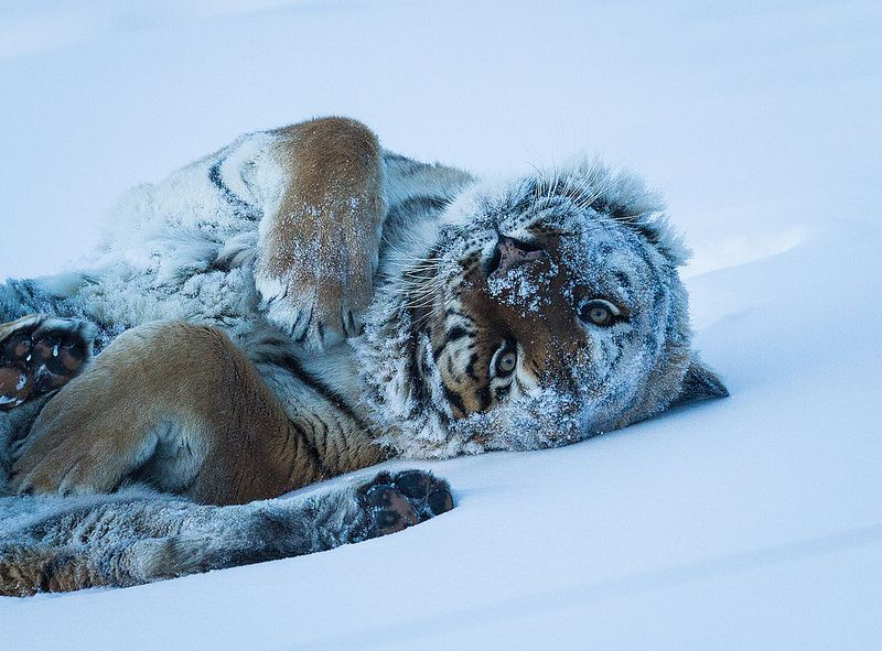 Tiger - rolling in snow | by hehirt