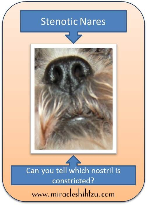 Stenotic Nares Or Pinched Nostrils In Shih Tzu Dogs Shih Tzu Dog