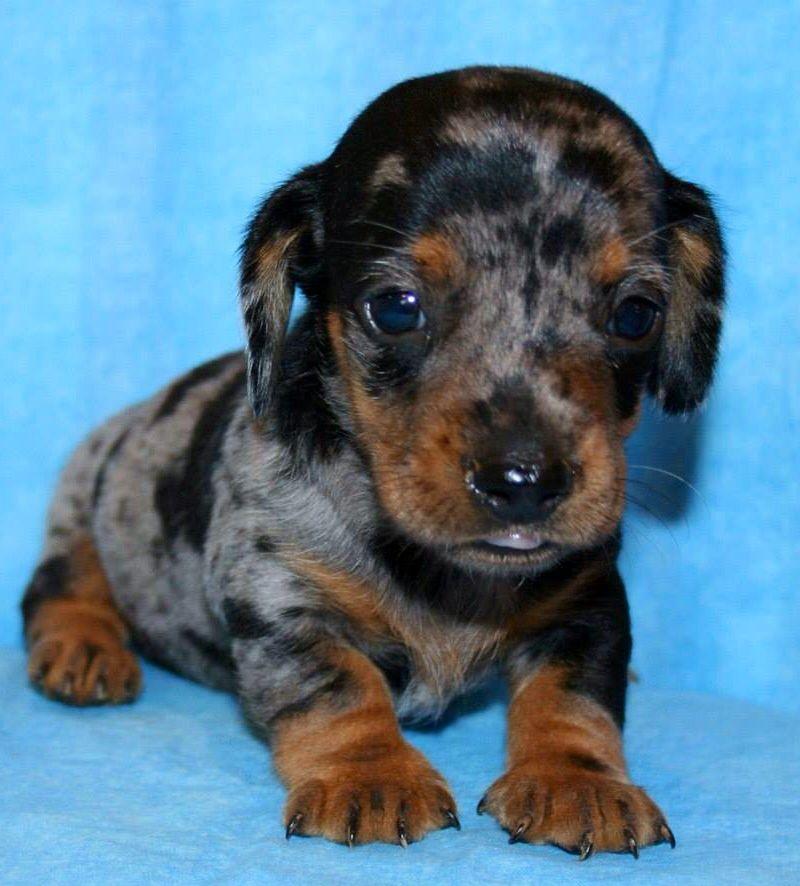 My 4 Week Old Dapple Dachshund Dapple Dachshund Doxie Puppies Dachshund Love